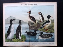 Kirby & Schubert 1889 Antique Bird Print. Goosander, Grebe, Diver, Auk, Puffin